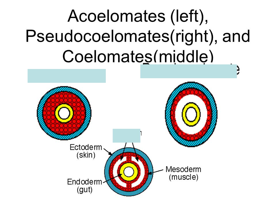 Acoelomates (left), Pseudocoelomates(right), and Coelomates(middle)