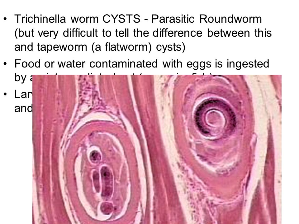 Trichinella worm CYSTS - Parasitic Roundworm (but very difficult to tell the difference between this and tapeworm (a flatworm) cysts) Food or water contaminated with eggs is ingested by an intermediate host (cow, pig, fish) Larvae from eggs burrow into muscle tissue of host and create a cyst