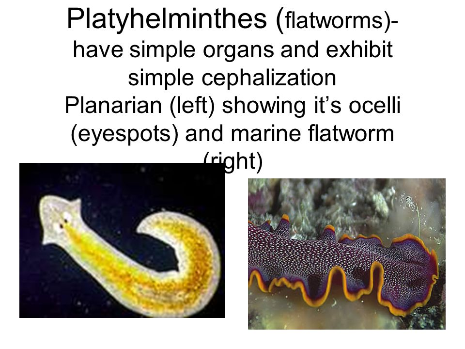 Platyhelminthes ( flatworms)- have simple organs and exhibit simple cephalization Planarian (left) showing it's ocelli (eyespots) and marine flatworm (right)