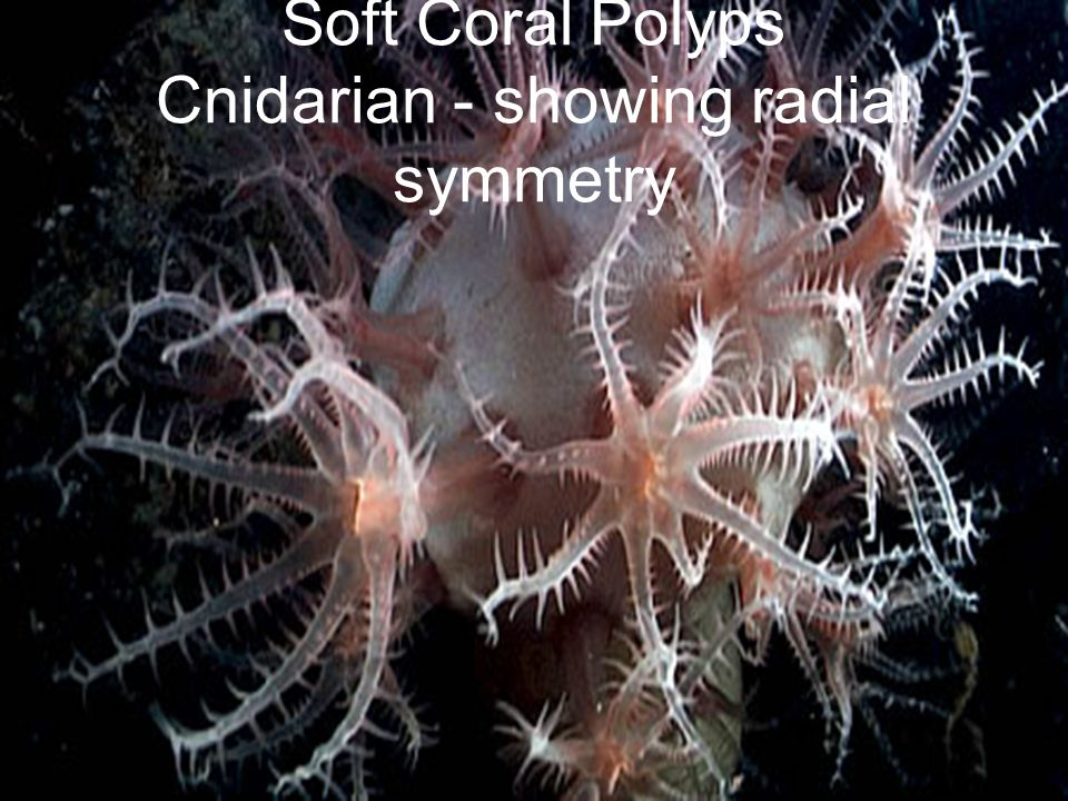 Soft Coral Polyps Cnidarian - showing radial symmetry