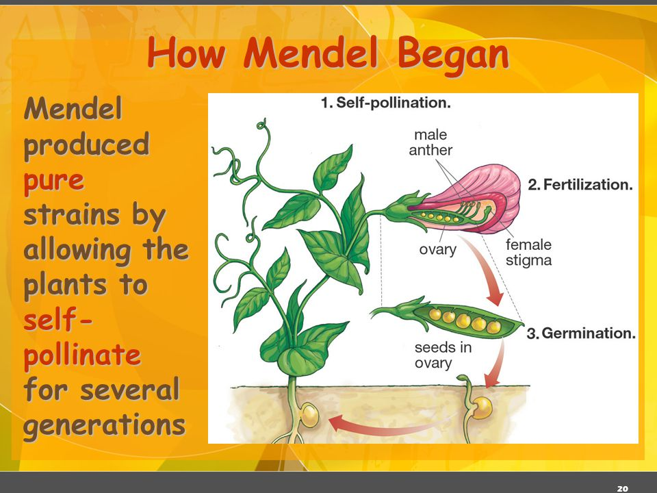 19 Mendel's Experimental Methods Mendel hand-pollinated flowers using a paintbrush He could snip the stamens to prevent self-pollination He traced tra