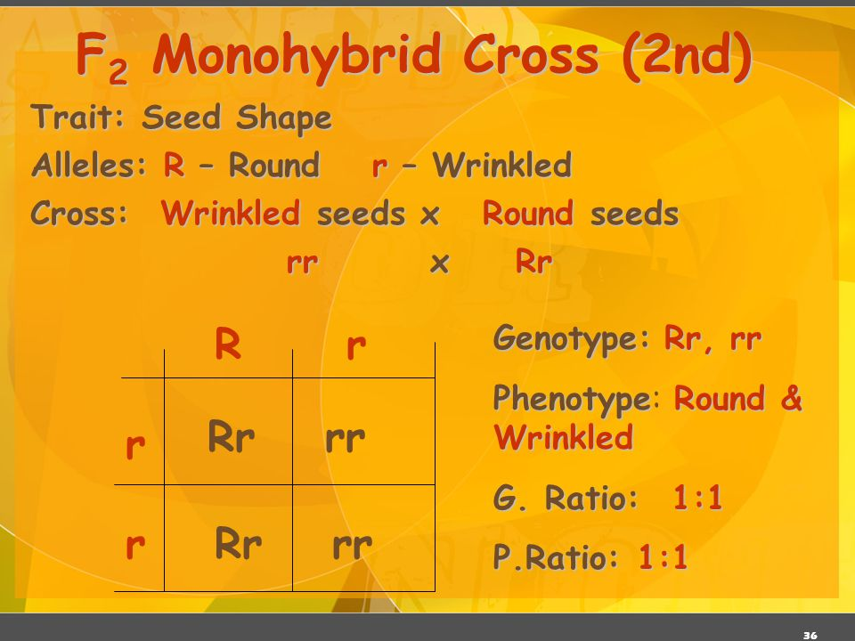 35 Trait: Seed Shape Alleles: R – Roundr – Wrinkled Cross: Round seeds x Round seeds RR x Rr F 2 Monohybrid Cross (1 st ) R R rR RR RrRR Rr Genotype:R