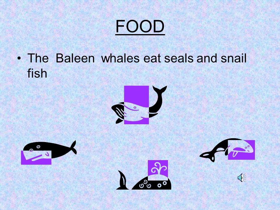 FOOD The Baleen whales eat seals and snail fish