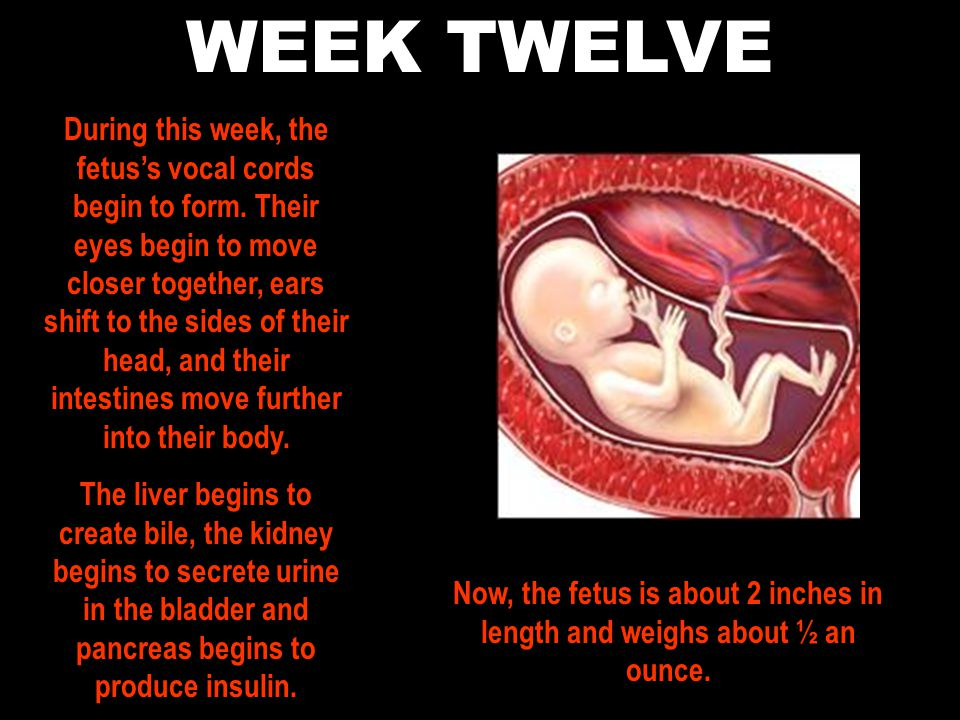 WEEK TWELVE During this week, the fetus's vocal cords begin to form.