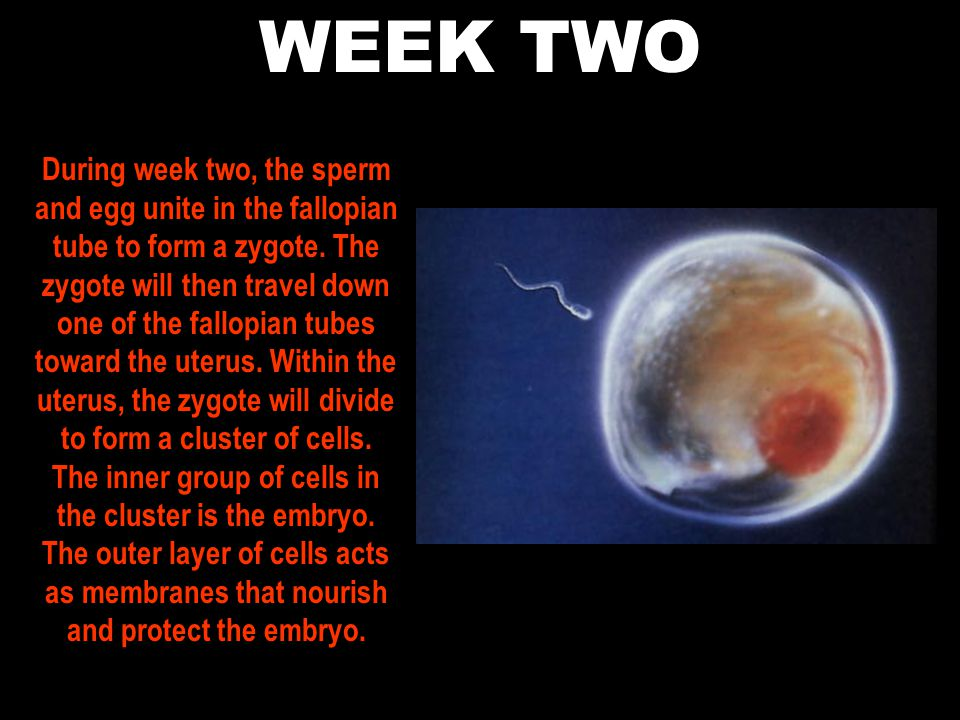 WEEK TWO During week two, the sperm and egg unite in the fallopian tube to form a zygote.