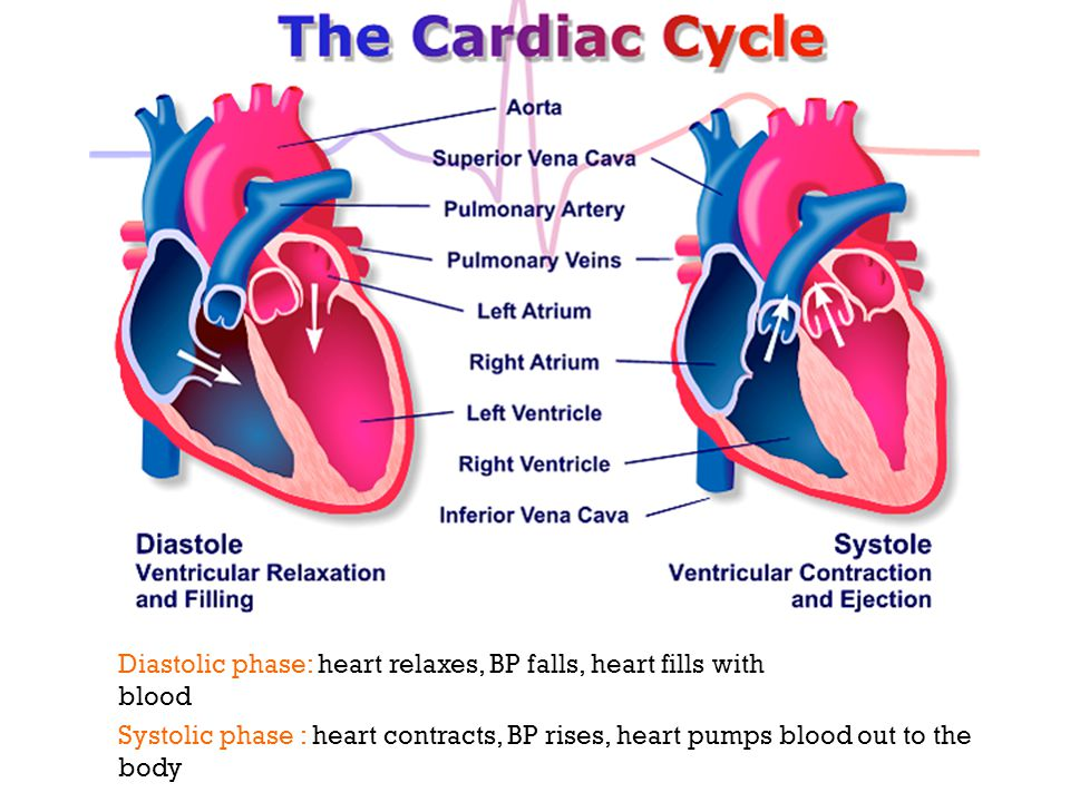 3 Diastolic phase: heart relaxes, BP falls, heart fills with blood Systolic phase : heart contracts, BP rises, heart pumps blood out to the body