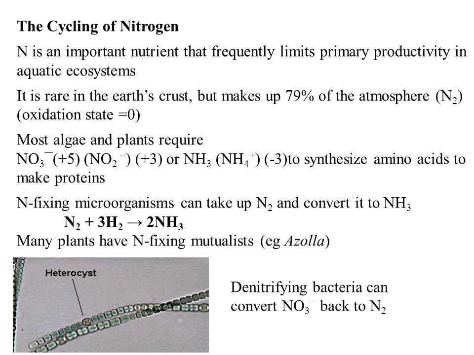 The Cycling of Nitrogen N is an important nutrient that frequently limits primary productivity in aquatic ecosystems It is rare in the earth's crust, but makes up 79% of the atmosphere (N 2 ) (oxidation state =0) Most algae and plants require NO 3 ¯(+5) (NO 2 ¯ ) (+3) or NH 3 (NH 4 + ) (-3)to synthesize amino acids to make proteins N-fixing microorganisms can take up N 2 and convert it to NH 3 N 2 + 3H 2 → 2NH 3 Many plants have N-fixing mutualists (eg Azolla) Denitrifying bacteria can convert NO 3 ¯ back to N 2