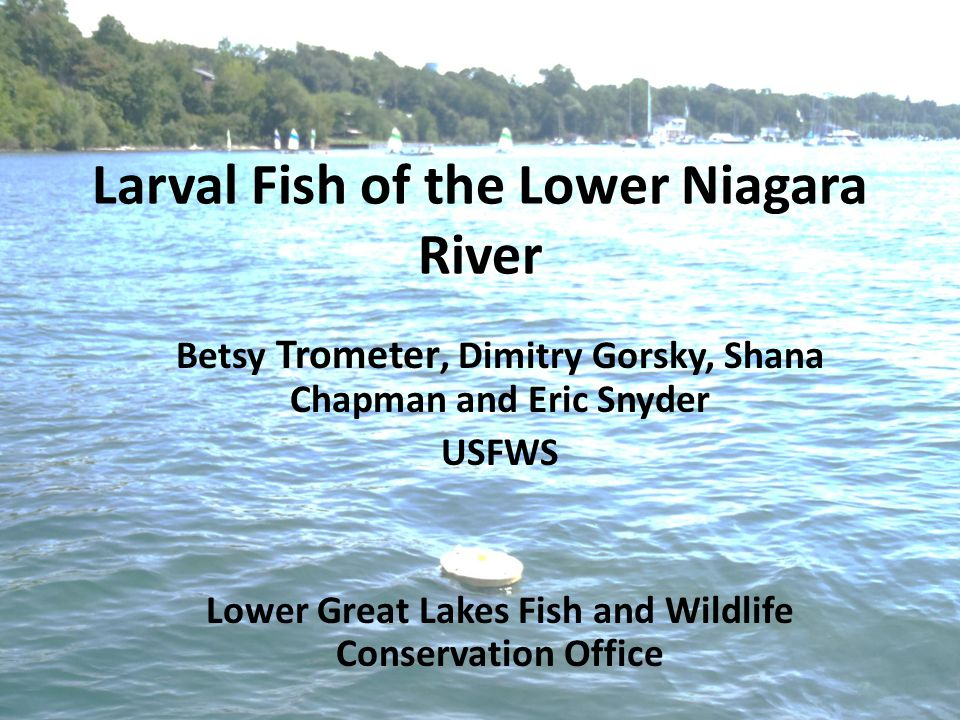 Niagara River Fish Community Great Lakes Restoration Initiative – Lake Trout and Lake Sturgeon - since 2010 Our interest in Lower Niagara River – Remnant sturgeon population – Large number of lake trout in river in fall likely spawning May spawn in river, but not confirmed Recent surveys identified 60 species Support concurrent studies