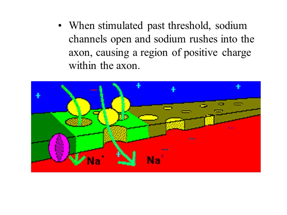 When stimulated past threshold, sodium channels open and sodium rushes into the axon, causing a region of positive charge within the axon.