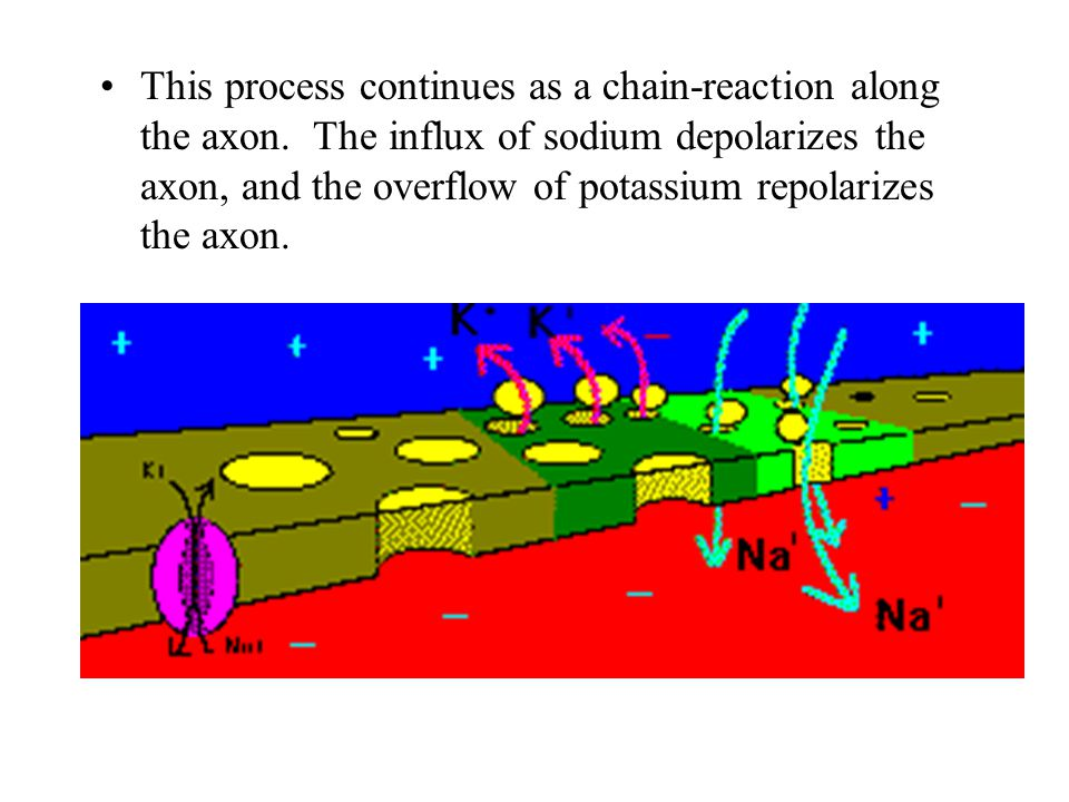 This process continues as a chain-reaction along the axon. The influx of sodium depolarizes the axon, and the overflow of potassium repolarizes the ax