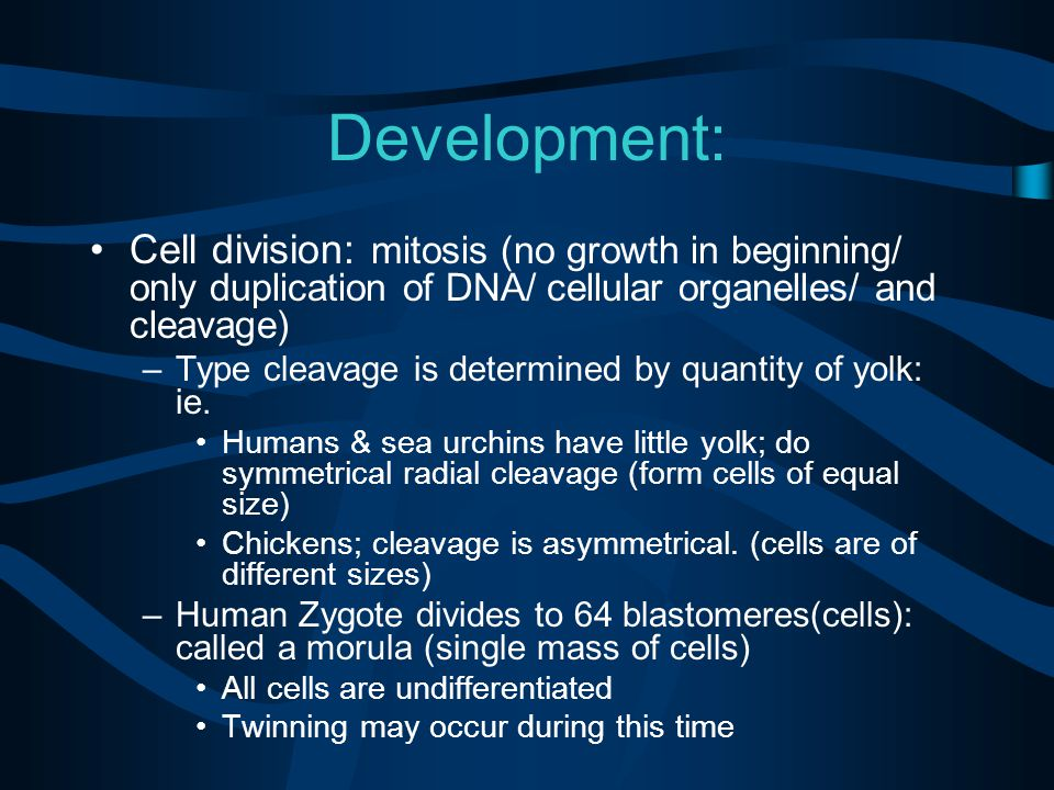 Development: Cell division: mitosis (no growth in beginning/ only duplication of DNA/ cellular organelles/ and cleavage) –Type cleavage is determined by quantity of yolk: ie.