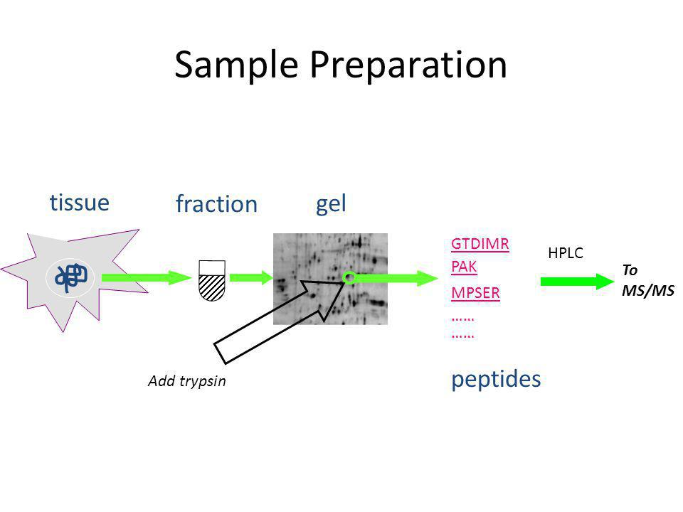Sample Preparation tissue fraction gel peptides Add trypsin MPSER …… GTDIMR PAK …… HPLC To MS/MS
