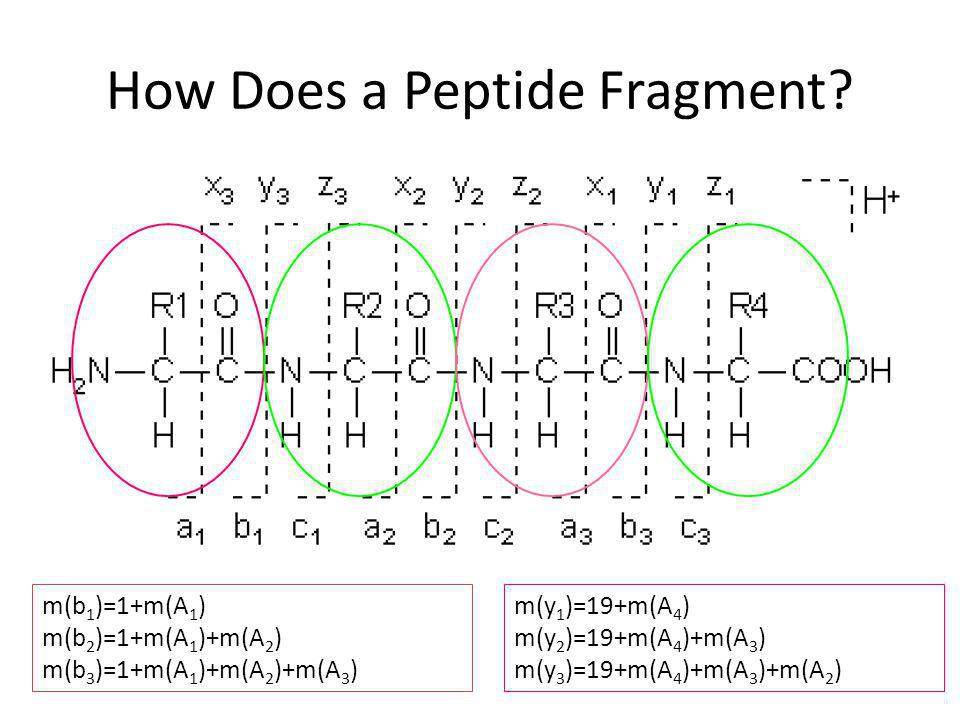 How Does a Peptide Fragment.