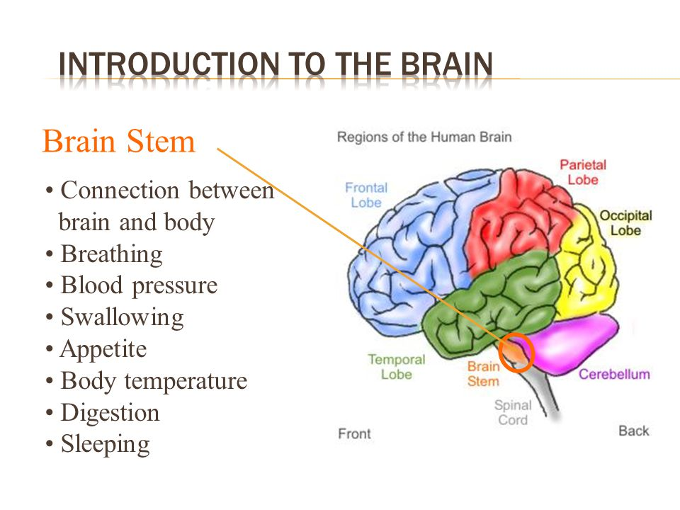Brain Stem Connection between brain and body Breathing Blood pressure Swallowing Appetite Body temperature Digestion Sleeping