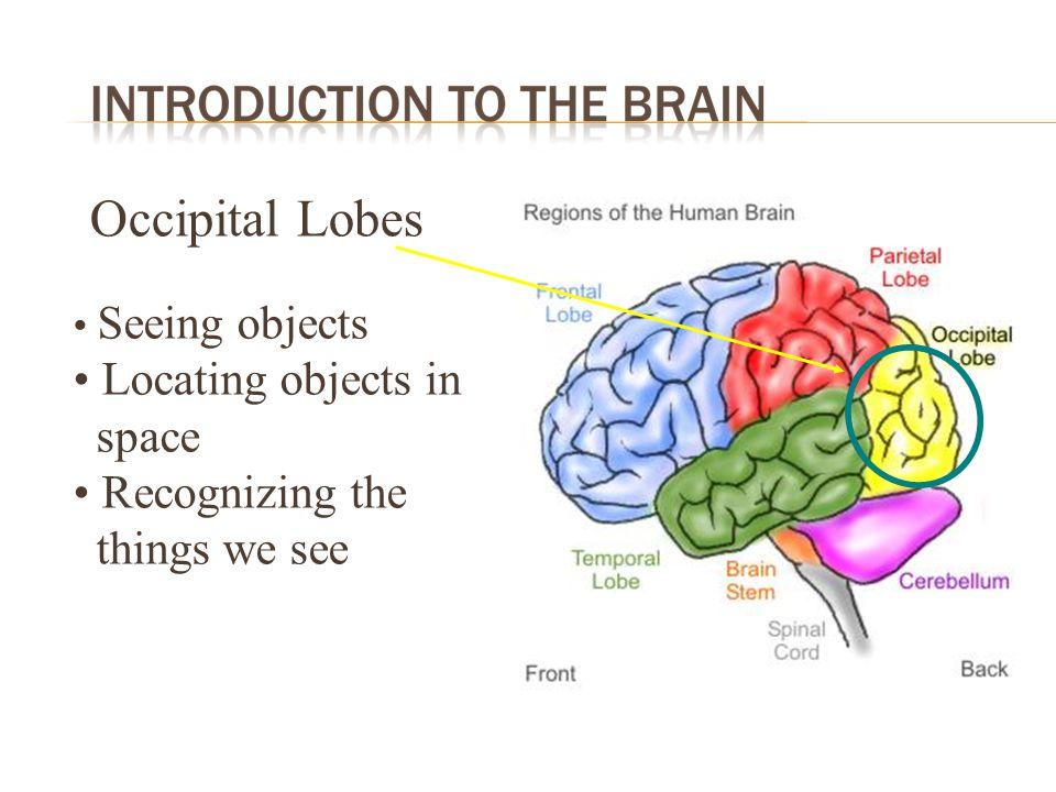 Cerebellum Maintaining balance Coordination of movement Timing of movement