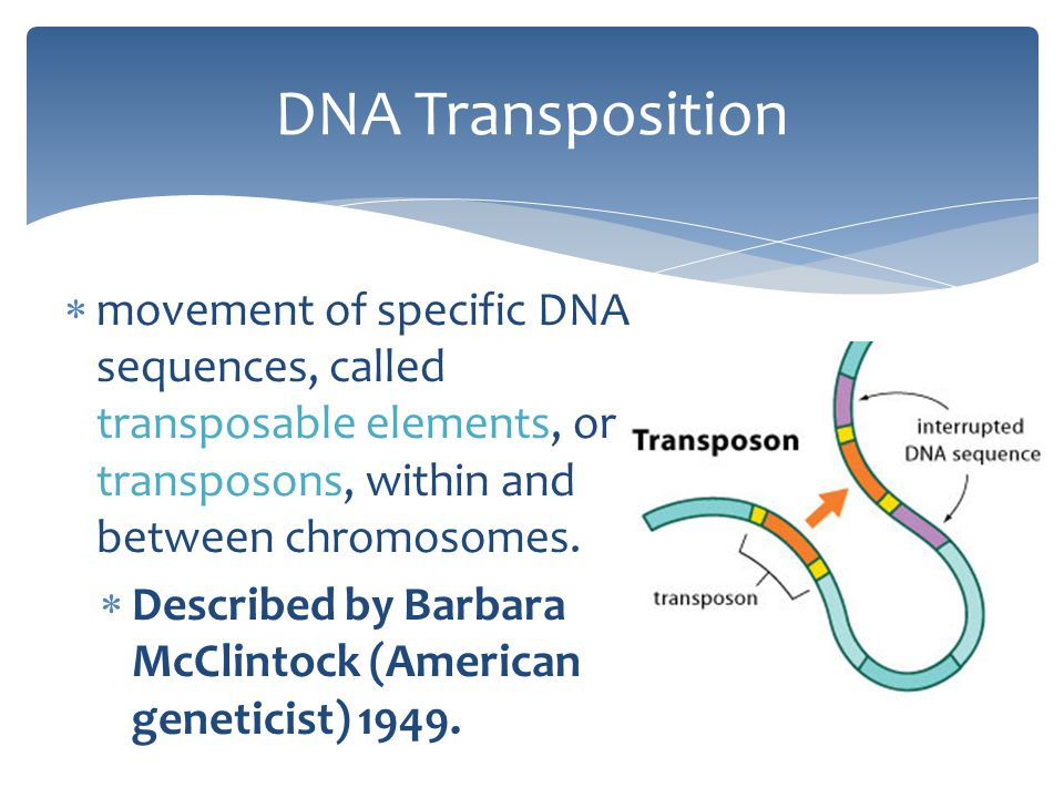  movement of specific DNA sequences, called transposable elements, or transposons, within and between chromosomes.  Described by Barbara McClintock