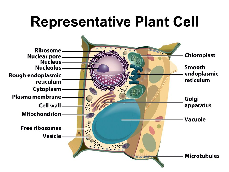 Representative Animal Cell