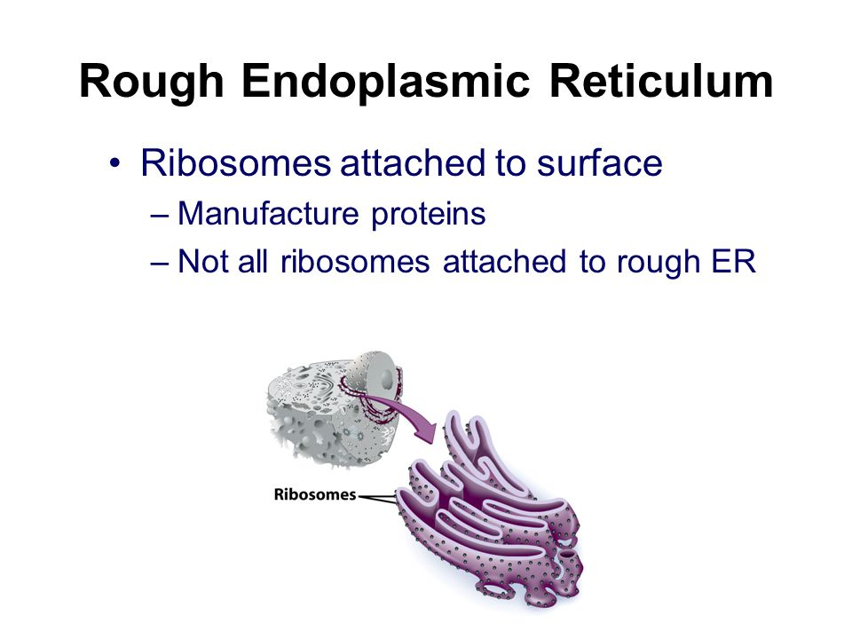 Endoplasmic Reticulum Helps move substances within cells Network of interconnected tubes Two types –Rough endoplasmic reticulum –Smooth endoplasmic re