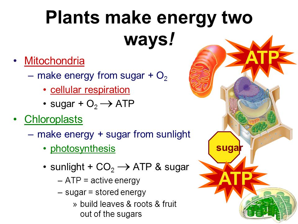 Mitochondria Function –make ATP energy from cellular respiration sugar + O 2  ATP fuels the work of life in both animal & plant cells ATP
