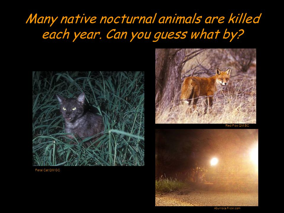 But some nocturnal animals like to call loudly to their friends.