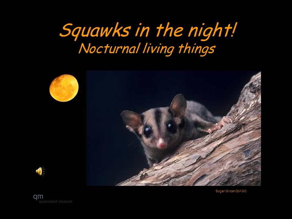 Squawks in the night! Nocturnal living things Sugar Glider QM GC