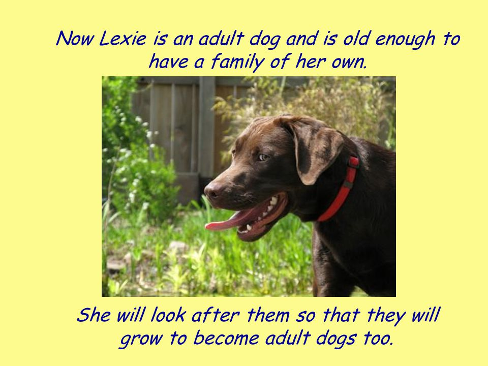 Now Lexie is an adult dog and is old enough to have a family of her own. She will look after them so that they will grow to become adult dogs too. CC: