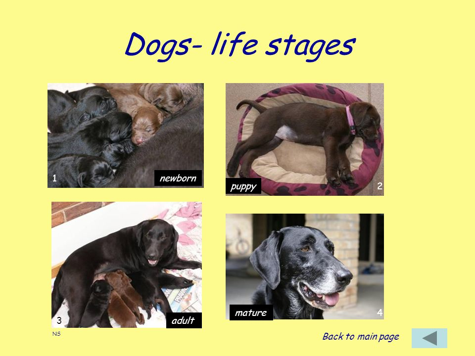 Dogs- life stages newborn puppy adult mature Back to main page NS 1 2 3 4