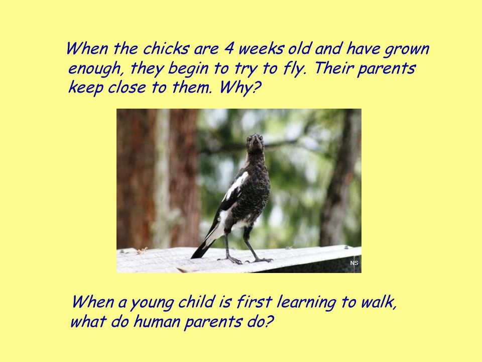 When the chicks are 4 weeks old and have grown enough, they begin to try to fly. Their parents keep close to them. Why? When a young child is first le