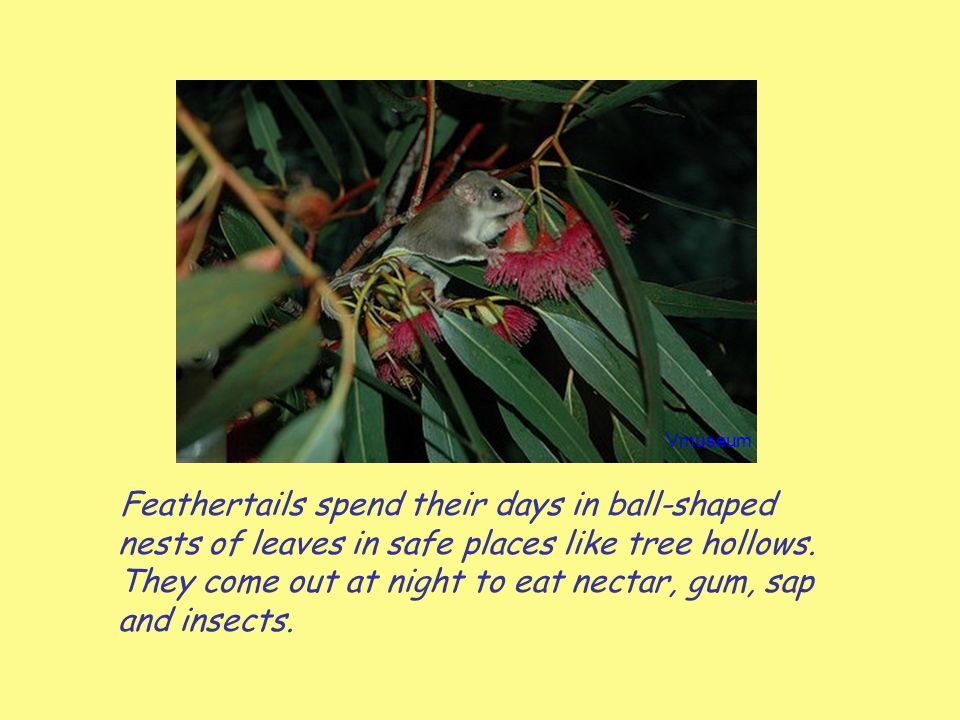 Feathertails spend their days in ball-shaped nests of leaves in safe places like tree hollows. They come out at night to eat nectar, gum, sap and inse
