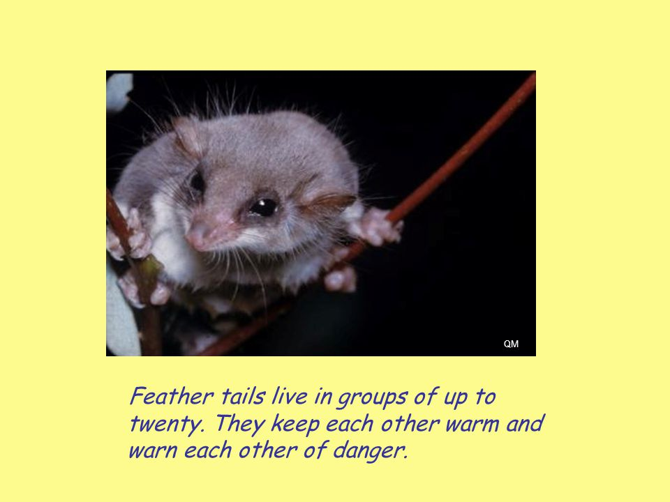 Feather tails live in groups of up to twenty. They keep each other warm and warn each other of danger. QM