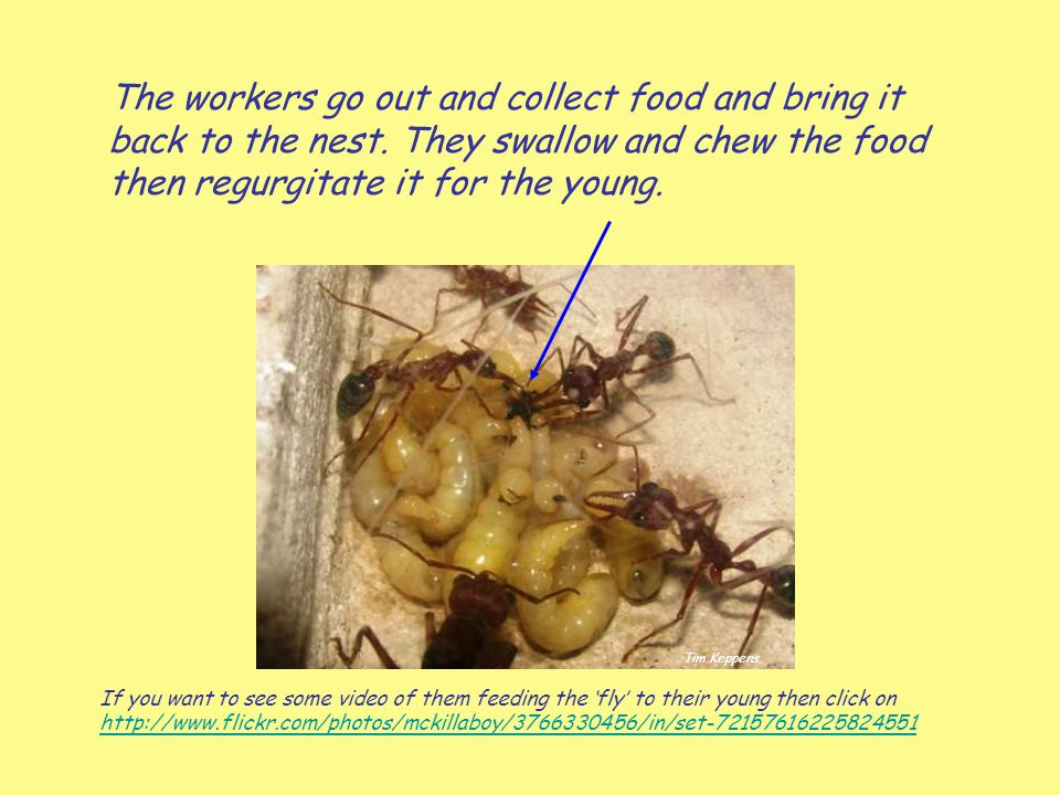 The workers go out and collect food and bring it back to the nest. They swallow and chew the food then regurgitate it for the young. If you want to se
