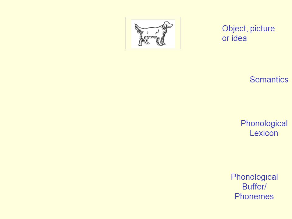 Semantics Object, picture or idea Phonological Lexicon Phonological Buffer/ Phonemes