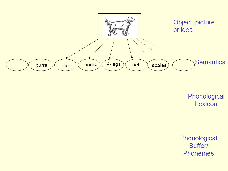 Semantics Object, picture or idea purrs barks fur pet 4-legs scales Phonological Lexicon Phonological Buffer/ Phonemes
