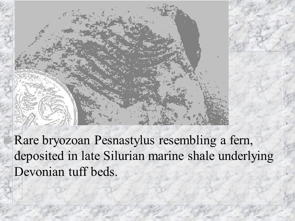n Rare bryozoan Pesnastylus resembling a fern, deposited in late Silurian marine shale underlying Devonian tuff beds.