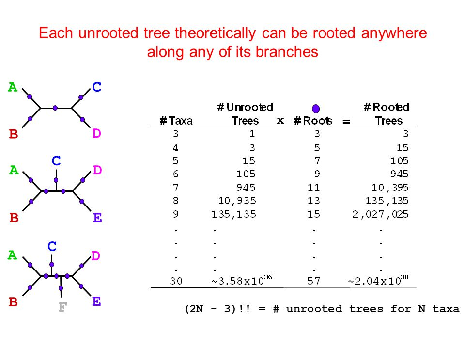 x = C A B D AD B E C A D B E C F (2N - 3)!! = # unrooted trees for N taxa Each unrooted tree theoretically can be rooted anywhere along any of its bra