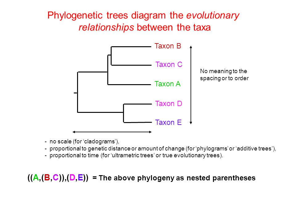 Phylogenetic trees diagram the evolutionary relationships between the taxa ((A,(B,C)),(D,E)) = The above phylogeny as nested parentheses Taxon A Taxon
