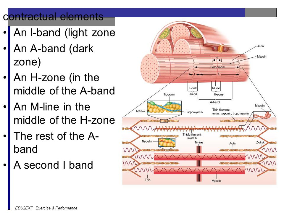 contractual elements An I-band (light zone) An A-band (dark zone) An H-zone (in the middle of the A-band) An M-line in the middle of the H-zone The rest of the A- band A second I band