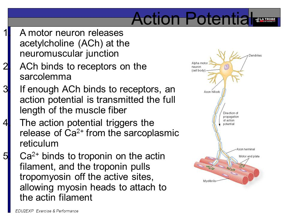 EDU2EXP Exercise & Performance Action Potential 1.A motor neuron releases acetylcholine (ACh) at the neuromuscular junction 2.ACh binds to receptors on the sarcolemma 3.If enough ACh binds to receptors, an action potential is transmitted the full length of the muscle fiber 4.The action potential triggers the release of Ca 2+ from the sarcoplasmic reticulum 5.Ca 2+ binds to troponin on the actin filament, and the troponin pulls tropomyosin off the active sites, allowing myosin heads to attach to the actin filament