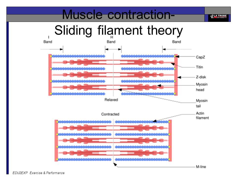 EDU2EXP Exercise & Performance Muscle contraction- Sliding filament theory