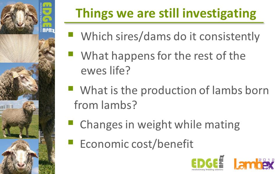 Things we are still investigating  Which sires/dams do it consistently  What happens for the rest of the ewes life?  What is the production of lamb