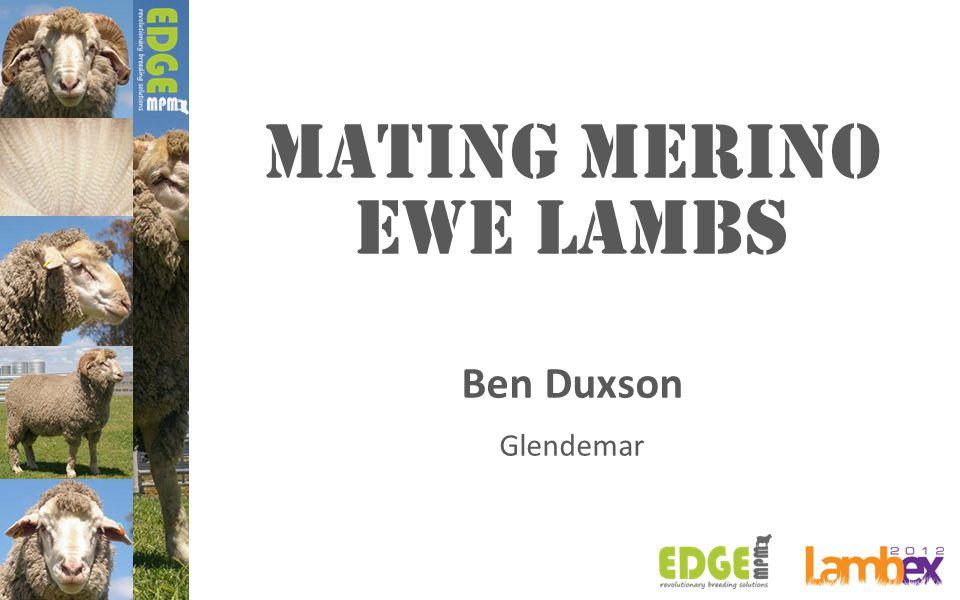 Mating MERINO EWE LAMBS Ben Duxson Glendemar