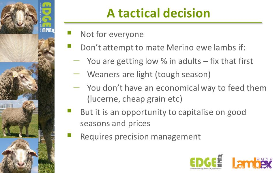 A tactical decision  Not for everyone  Don't attempt to mate Merino ewe lambs if: – You are getting low % in adults – fix that first – Weaners are l