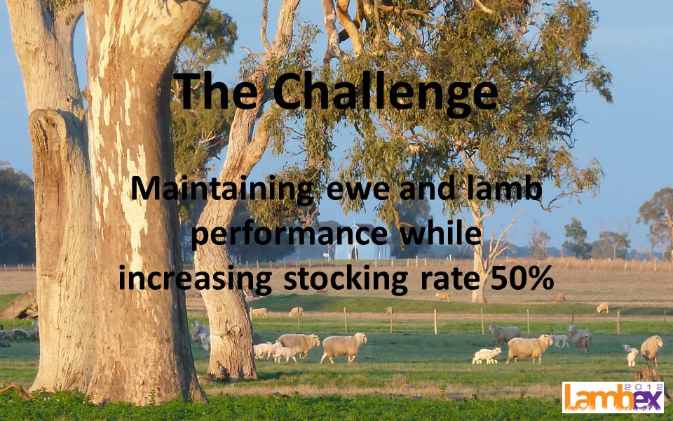 The Challenge Maintaining ewe and lamb performance while increasing stocking rate 50%