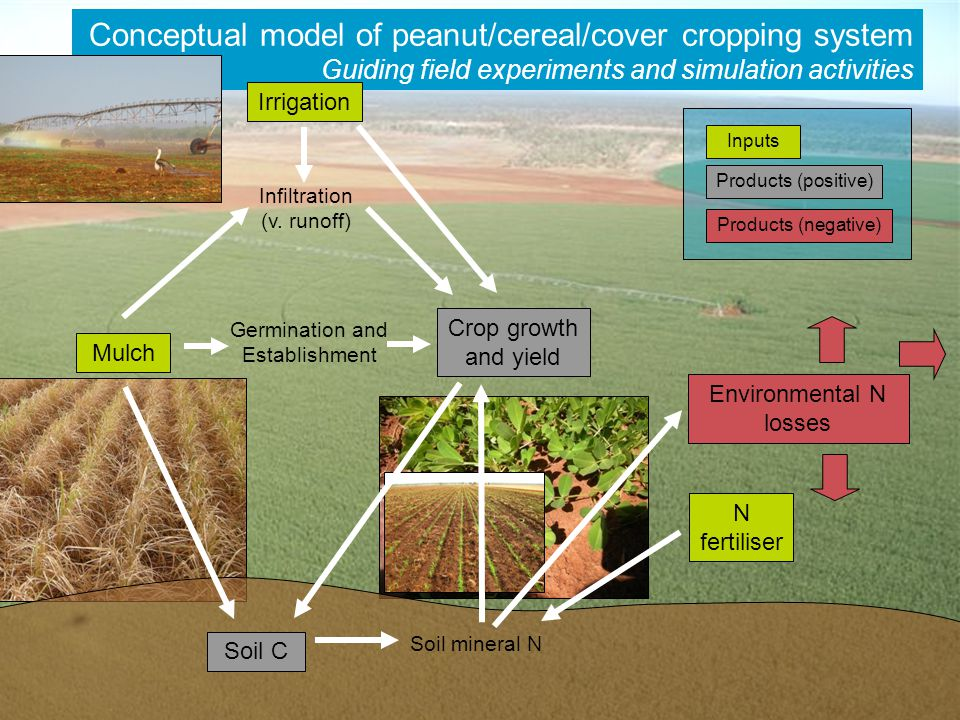 CSIRO DAFF Peanut Project Agronomy Conceptual model of peanut/cereal/cover cropping system Guiding field experiments and simulation activities Irrigation Mulch N fertiliser Crop growth and yield Environmental N losses Soil C Products (positive) Inputs Products (negative) Soil mineral N Germination and Establishment Infiltration (v.