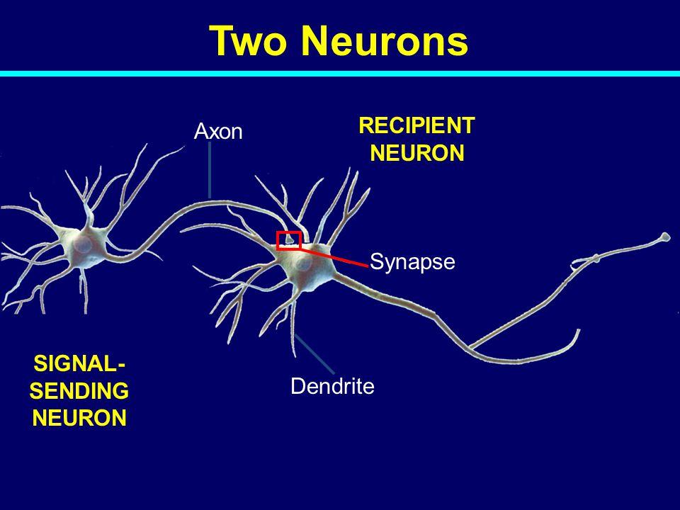 SIGNAL- SENDING NEURON RECIPIENT NEURON Synapse Dendrite Axon Two Neurons 04-039