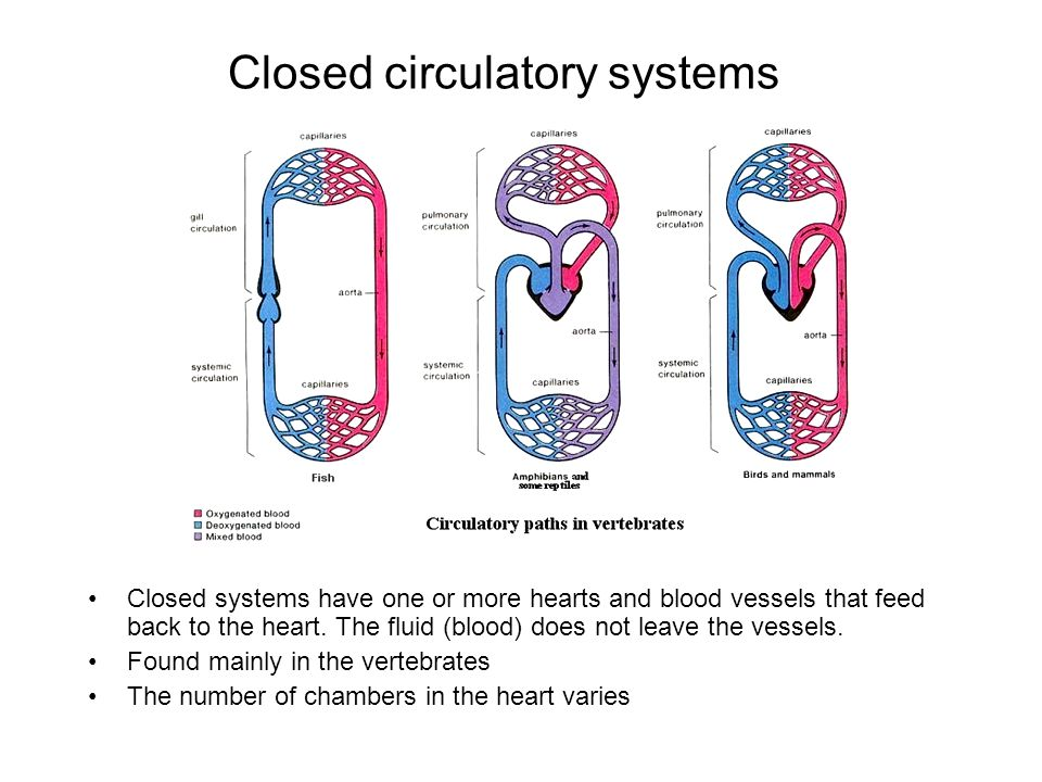 Closed circulatory systems Closed systems have one or more hearts and blood vessels that feed back to the heart. The fluid (blood) does not leave the