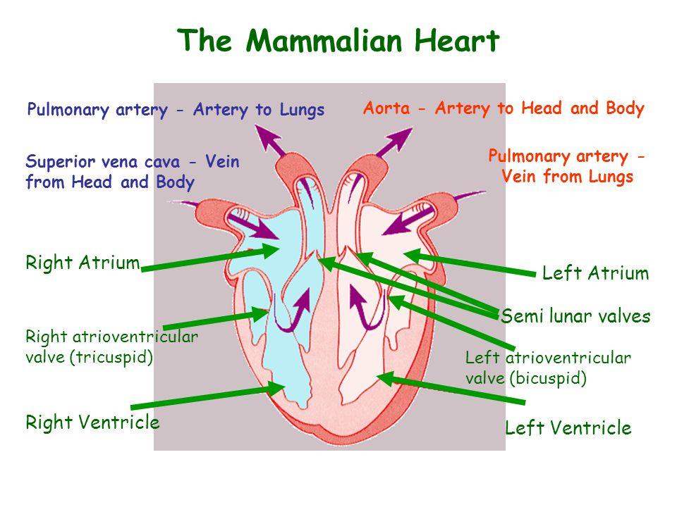 The Mammalian Heart Left Ventricle Left Atrium Right Atrium Right Ventricle Right atrioventricular valve (tricuspid) Pulmonary artery - Vein from Lung