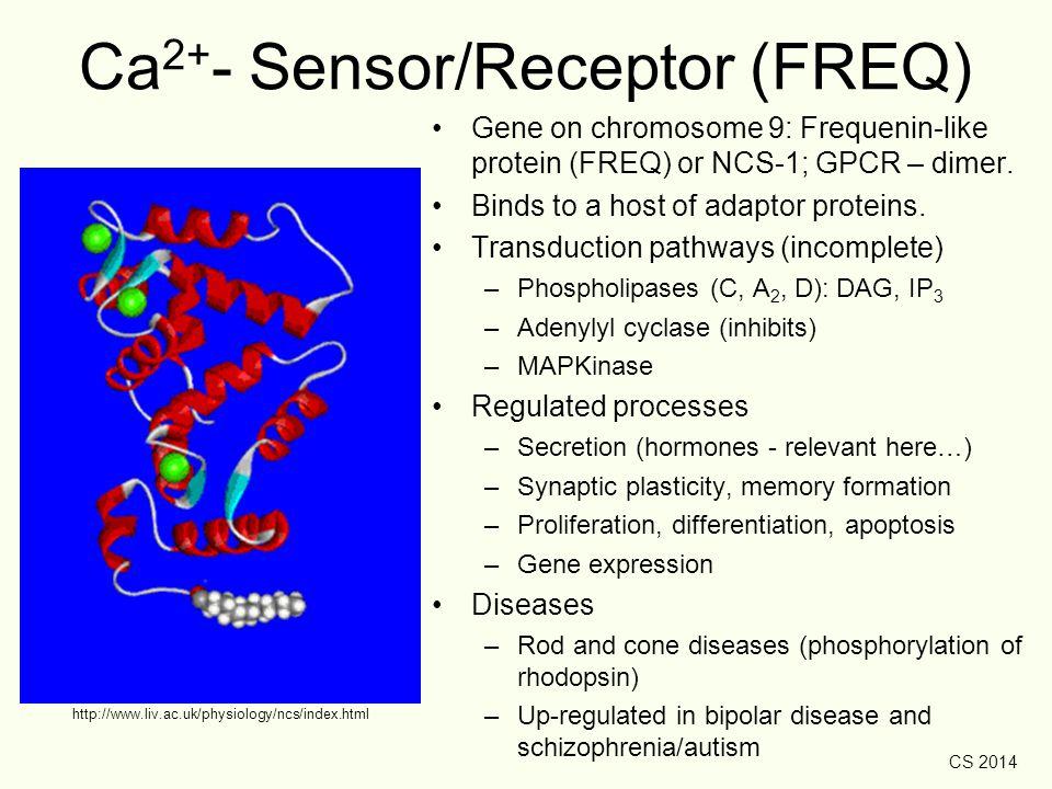 CS 2014 http://www.liv.ac.uk/physiology/ncs/index.html Ca 2+ - Sensor/Receptor (FREQ) Gene on chromosome 9: Frequenin-like protein (FREQ) or NCS-1; GP