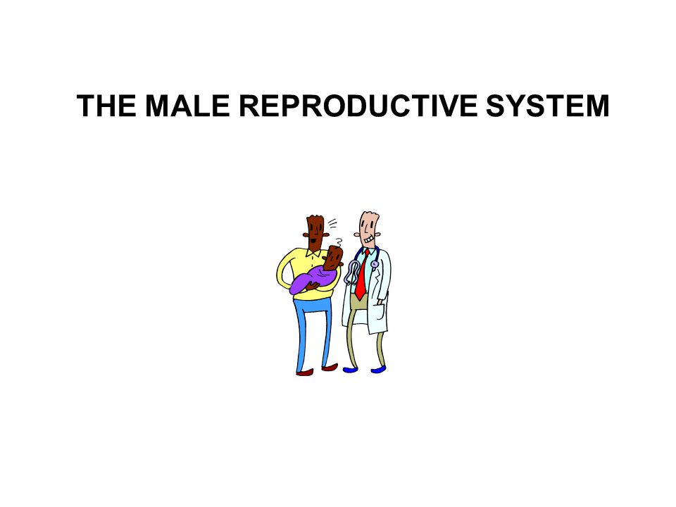 The male reproductive system is designed to: 1.produce male gametes (sperm) 2.