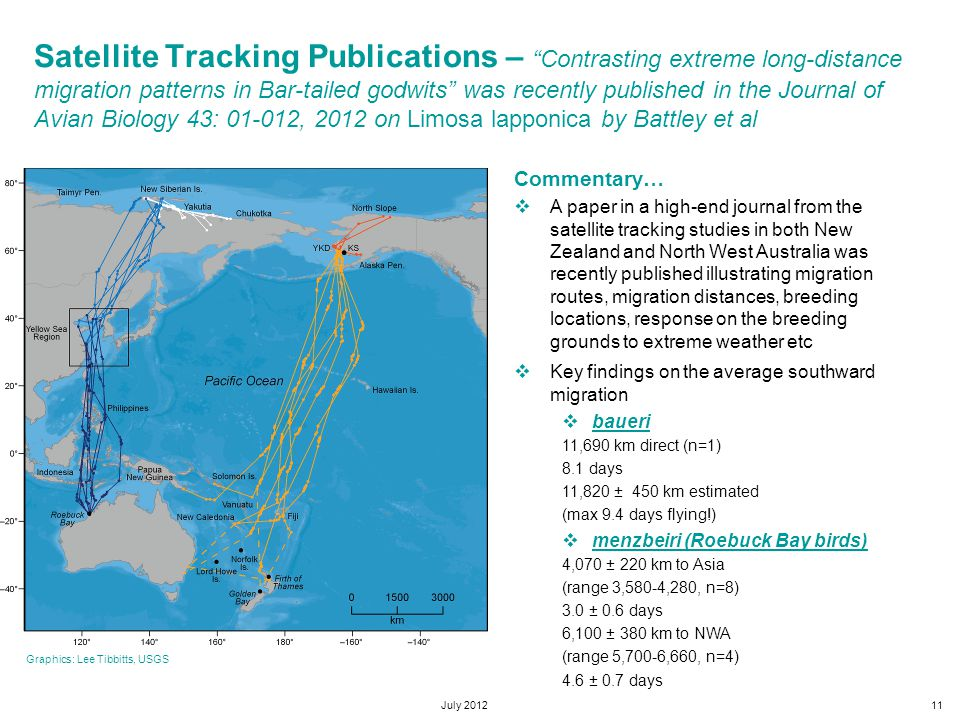 July 201211 Satellite Tracking Publications – Contrasting extreme long-distance migration patterns in Bar-tailed godwits was recently published in the Journal of Avian Biology 43: 01-012, 2012 on Limosa lapponica by Battley et al Commentary…  A paper in a high-end journal from the satellite tracking studies in both New Zealand and North West Australia was recently published illustrating migration routes, migration distances, breeding locations, response on the breeding grounds to extreme weather etc  Key findings on the average southward migration  baueri 11,690 km direct (n=1) 8.1 days 11,820 ± 450 km estimated (max 9.4 days flying!)  menzbeiri (Roebuck Bay birds) 4,070 ± 220 km to Asia (range 3,580-4,280, n=8) 3.0 ± 0.6 days 6,100 ± 380 km to NWA (range 5,700-6,660, n=4) 4.6 ± 0.7 days Graphics: Lee Tibbitts, USGS